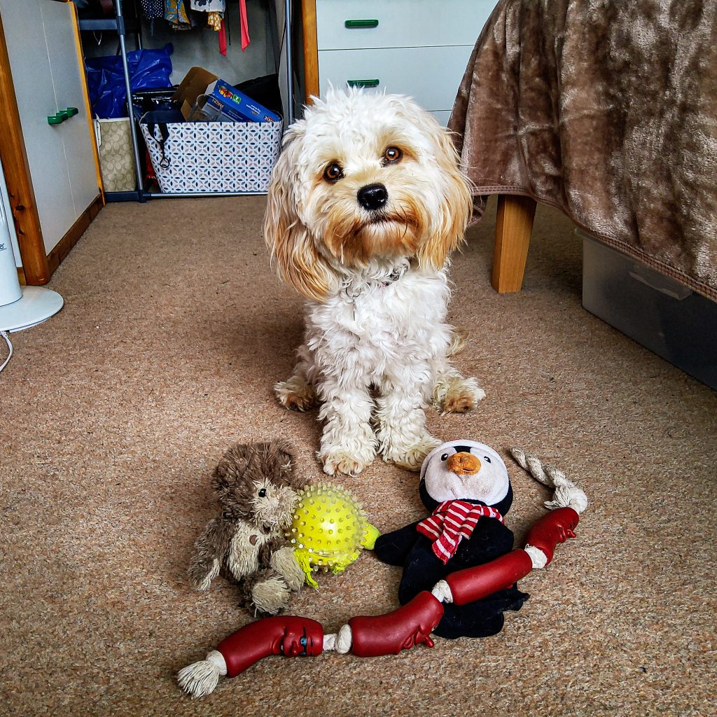 dog toys and cavachon puppy