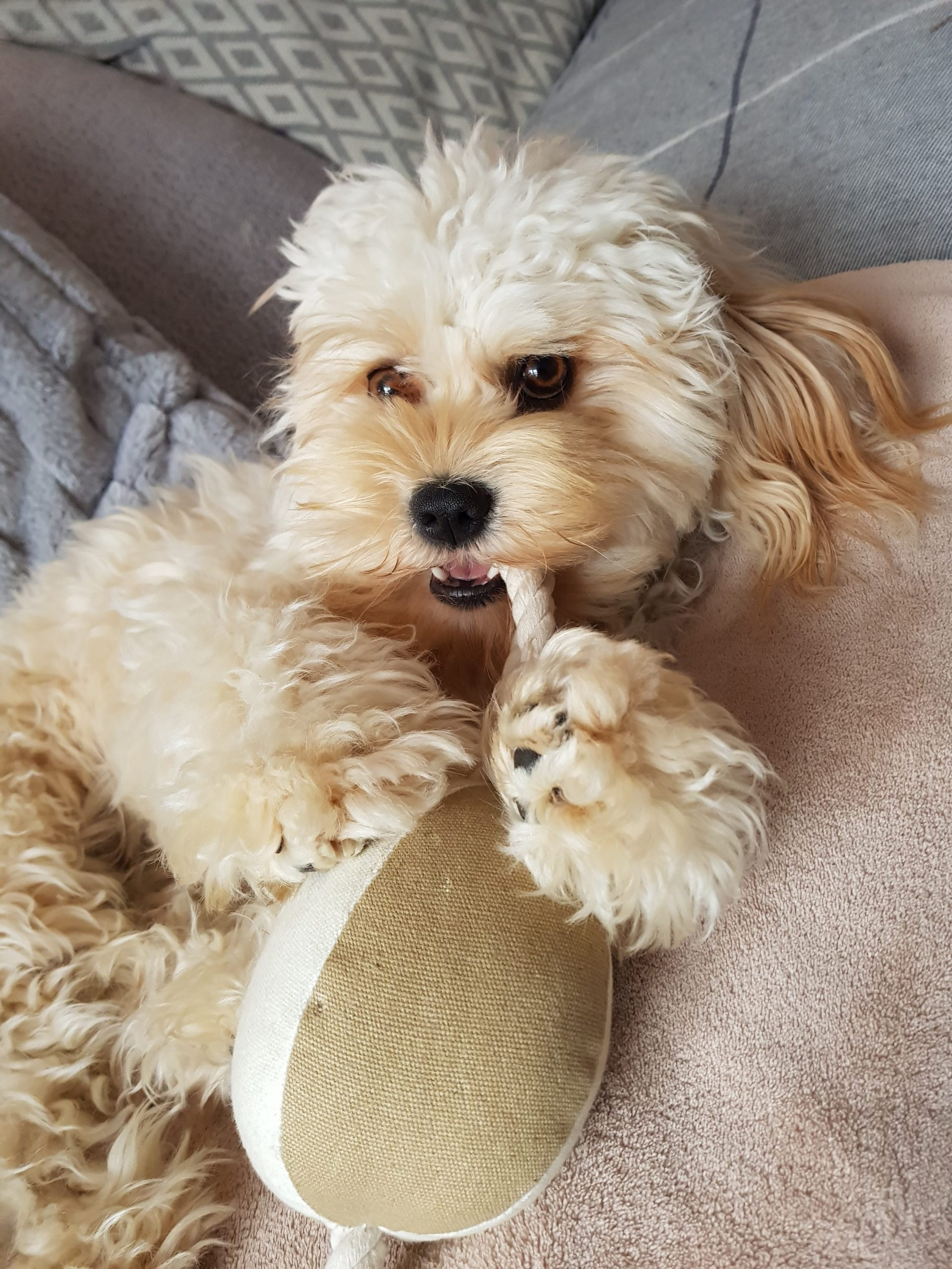 cavachon dog breed behaviour and personality