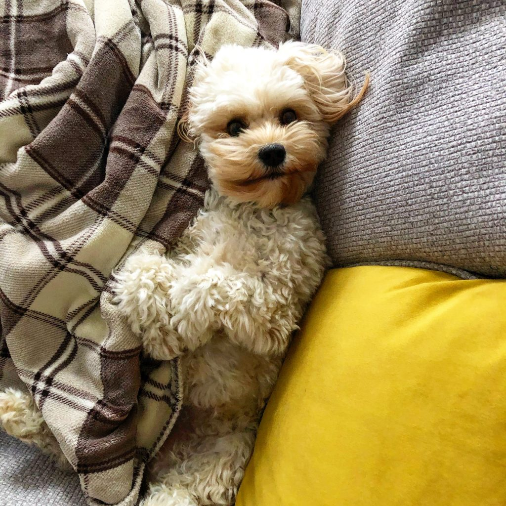 amazing cavachon dog breed behaviour and personality